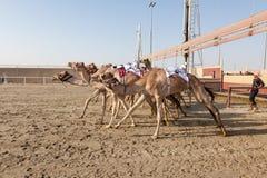 Biegowi wielbłądy w Doha, Katar obrazy royalty free