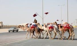 Biegowi wielbłądy w Katar obrazy royalty free