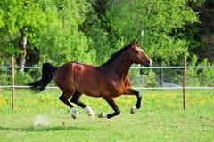 Biegowy koń przy rolnym padokiem w lecie zdjęcie stock