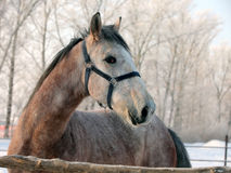 Biegowy koń przy rolnym padokiem w zimie obrazy stock