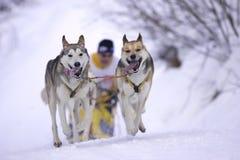 biegowy sleddog Zdjęcia Royalty Free
