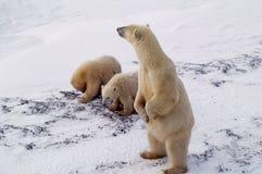 biegunowi arctic lisiątka niedźwiadkowi kanadyjscy Zdjęcie Royalty Free