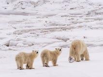biegunowi niedźwiadkowi lisiątka fotografia royalty free