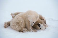 biegunowi niedźwiadkowi lisiątka Obraz Royalty Free