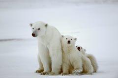 biegunowi niedźwiadkowi lisiątka Obraz Stock