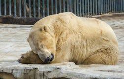 Biegunowy biały niedźwiedź w zoo Niedźwiedź polarny śpi na skale zdjęcie royalty free