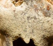 biegunowy kości niedźwiadkowy macro Fotografia Stock
