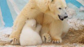 Biegunowy niedźwiedź karmi jej lisiątka w zimie obraz royalty free