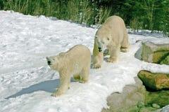 biegunowy niedźwiedzi krycia Obraz Royalty Free