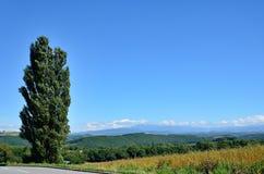 Biei,北海道横向。 (白扬树) 免版税库存照片