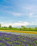 Biei and Furano flower fields, Hokkaido, Japan Stock Image