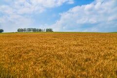 biei sette delicati e giacimento di grano Fotografia Stock Libera da Diritti