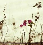 bieląca bougainvillea menchii ściana zdjęcie stock