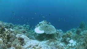 Bielący korale zbiory