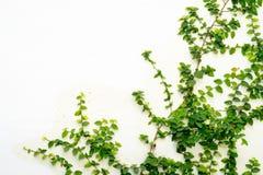 Biel ściana z bluszcz rośliną obraz stock