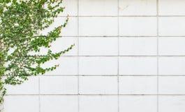 Biel ściana z wspinaczkową rośliną Zdjęcia Royalty Free