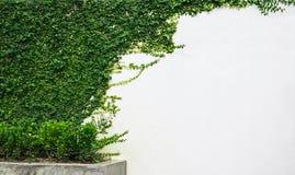 Biel ściany zieleni bluszcza roślina Fotografia Stock