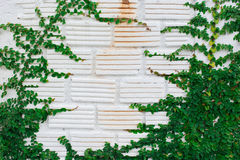 Biel ściany zieleni bluszcza roślina Fotografia Royalty Free