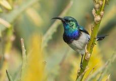 Biel Bellied Sunbird (Cinnyris talatala) Obraz Royalty Free
