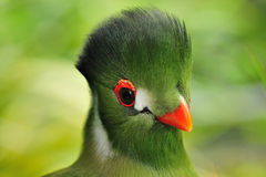 Biel cheeked Turaco portret obrazy royalty free