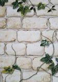 biel ściana z bluszczem zdjęcie stock