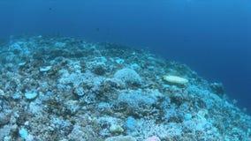Bielący korale zbiory wideo