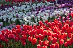 Biel, czerwień, purpurowy kwitnący tulipan Fotografia Stock