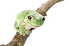 Biel Drzewna żaba Zdjęcia Stock