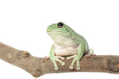Biel Drzewna żaba Zdjęcie Royalty Free