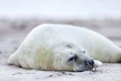 Biel foki popielaty dziecko Zdjęcie Royalty Free
