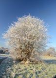 Biel frosted drzewo w wwinter Obrazy Royalty Free