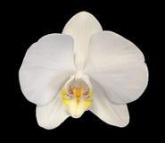 Biel gałęziasta orchidea kwitnie z pączkami, Orchidaceae, Phalaenopsis znać jako ćma orchidea Fotografia Stock