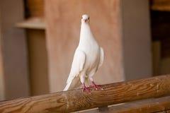 Biel gołąbka Zdjęcia Stock
