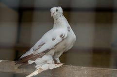 Biel gołąbka Fotografia Stock