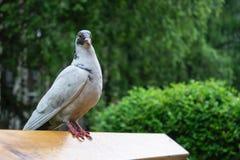 Biel gołąbka na ławkach w parku fotografia royalty free