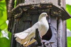 Biel gołąbka na gałąź Fotografia Stock