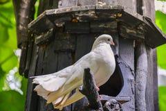 Biel gołąbka na gałąź Zdjęcia Stock