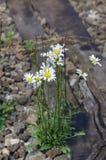 Biel i żółty kwiat zdjęcia stock