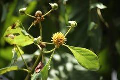 Biel i żółty kwiat tekowy drzewo Fotografia Stock