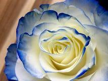 Biel i błękit róża Obraz Stock
