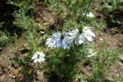Biel i błękitni kwiaty Nigella damascena Zdjęcia Royalty Free