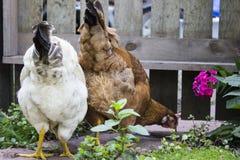 Biel i Brown kurczaki Je pluskwy w Ogrodowym położeniu z Drewnianym ogrodzeniem w tle Zdjęcie Stock