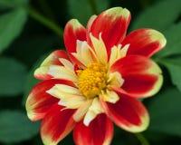biel i dalia kwiat w ogródzie w bretagnelight dzień na zielonym tle żółty i czerwony obraz royalty free