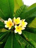 Biel i kolor żółty Kwitniemy wśród długiej zieleni liści Fotografia Royalty Free