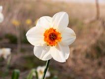 biel i pomarańcze zamknięci dzikiego daffodil piękna wiosna up obrazy royalty free