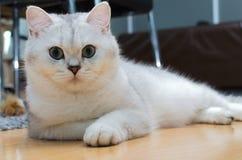 Biel i popielaty Brytyjski krótki włosy chłodzi na podłoga Fotografia Stock