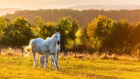 Biel konie Obraz Royalty Free