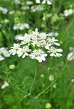 Biel koronki kwiat (Orlaya grandiflora) obraz royalty free