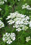 Biel koronki kwiat (Orlaya grandiflora) zdjęcie royalty free