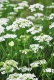 Biel koronki kwiat (Orlaya grandiflora) obrazy stock